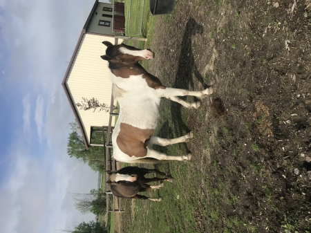 Scout, Other Gelding for sale in Michigan